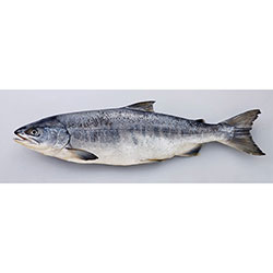 知床鮭2kg